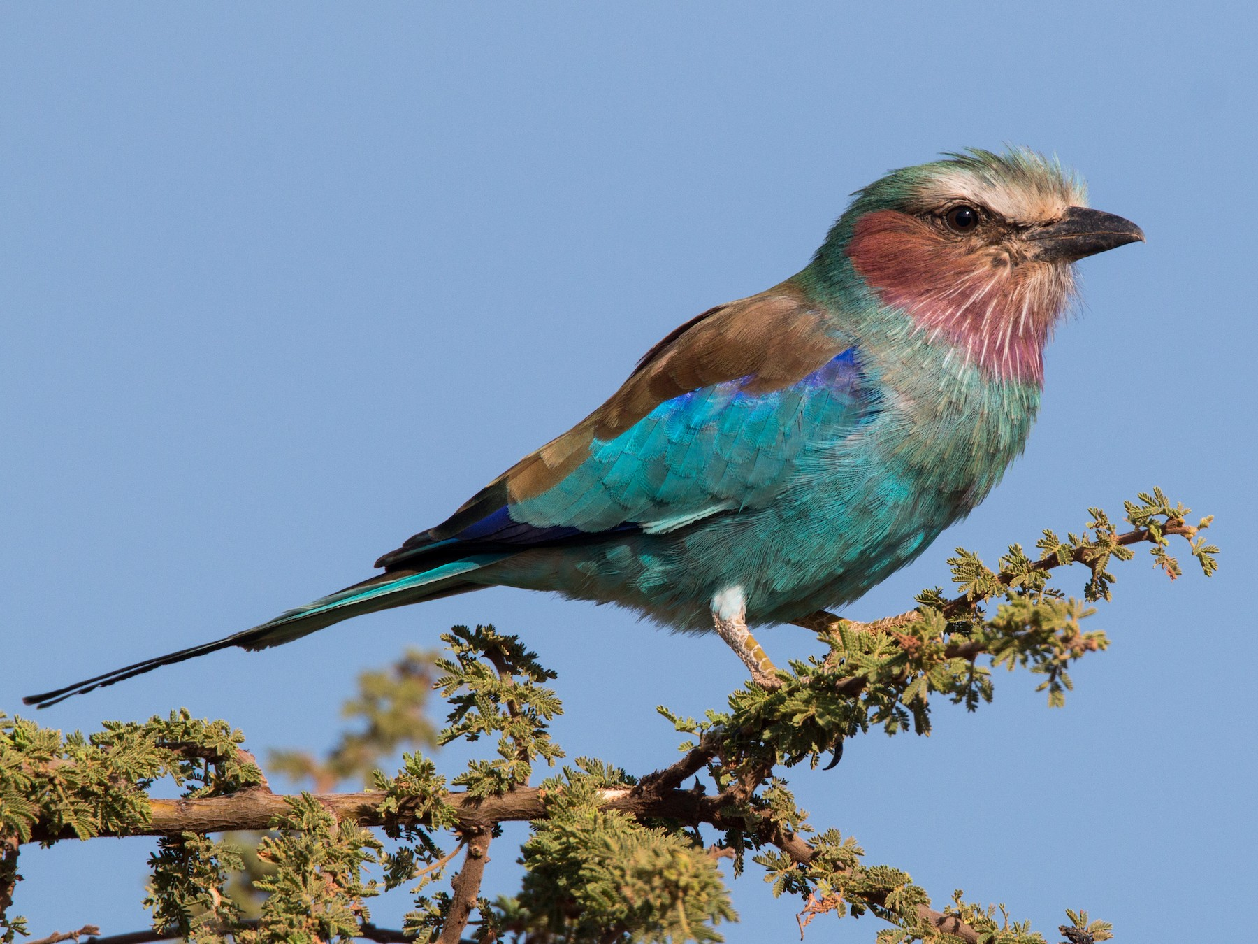 Lilac-breasted Roller - Ian Davies