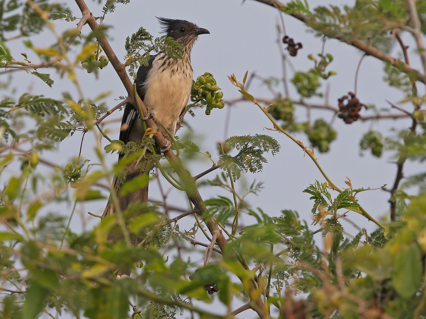 Levaillant's Cuckoo - Marco Valentini