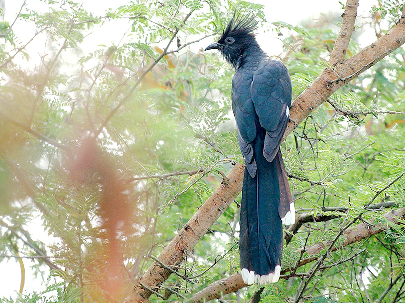 Levaillant's Cuckoo - Michael Zieger