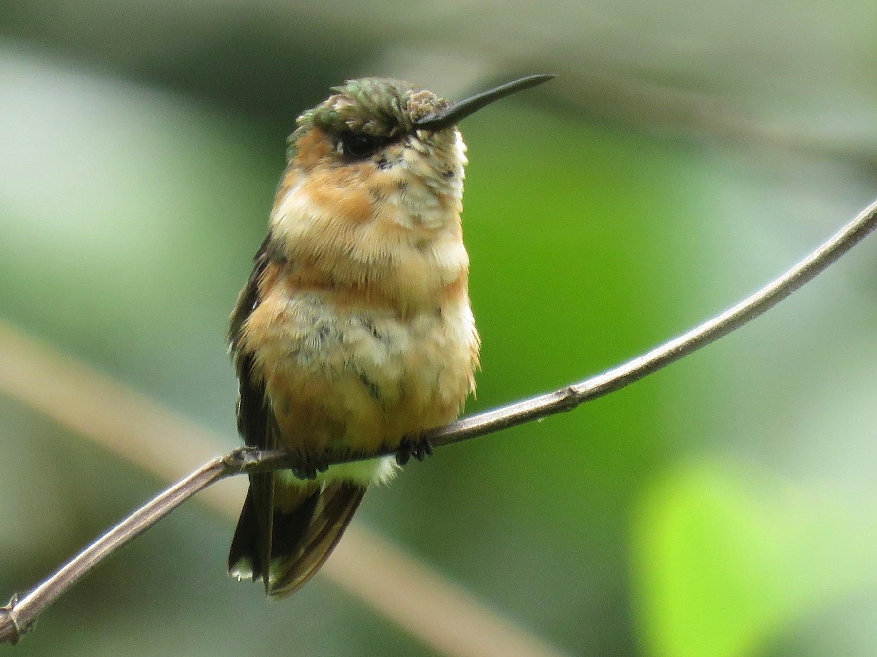 Sparkling-tailed Hummingbird - John van Dort