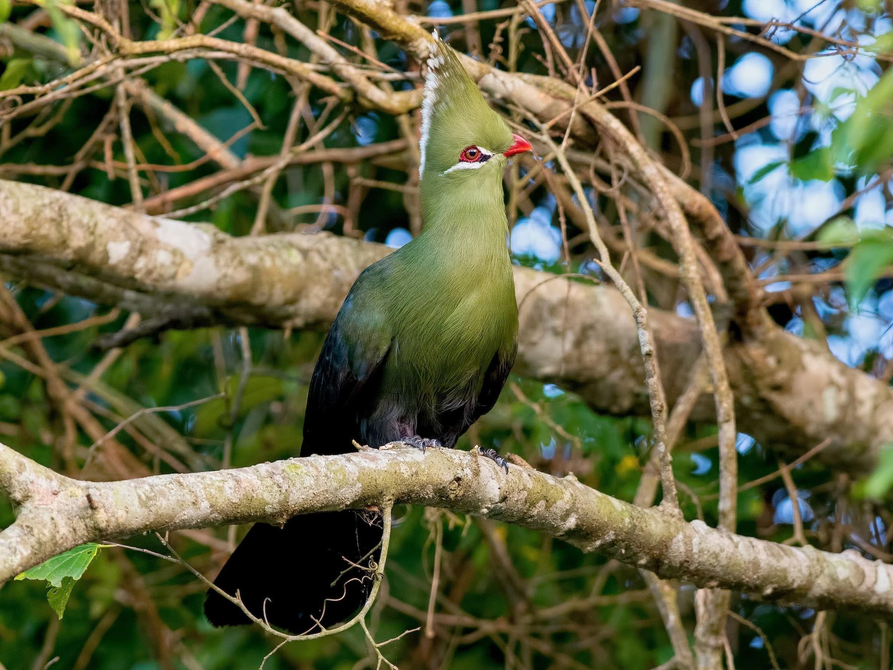 Livingstone's Turaco - Shailesh Pinto
