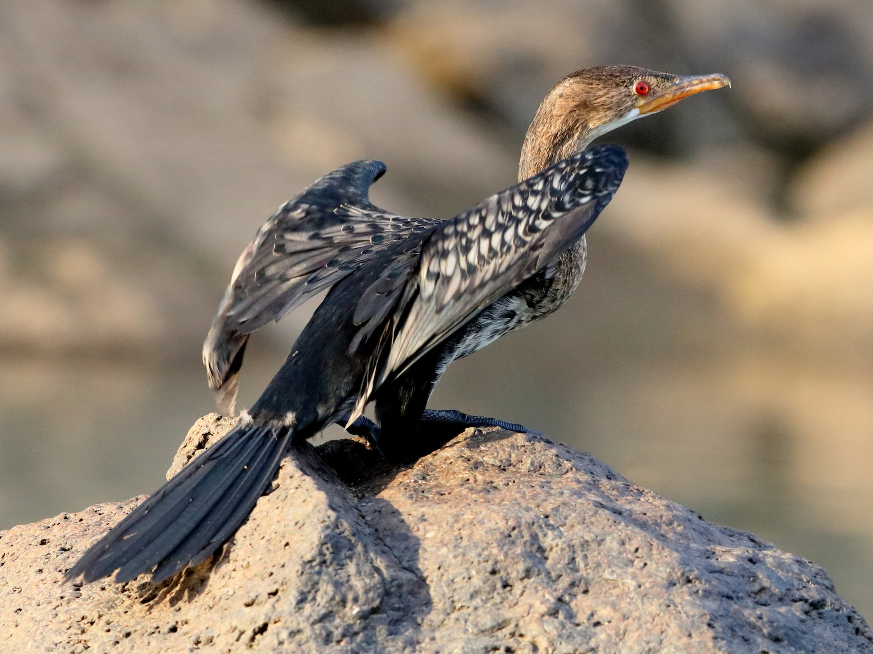 Long-tailed Cormorant - Holger Teichmann