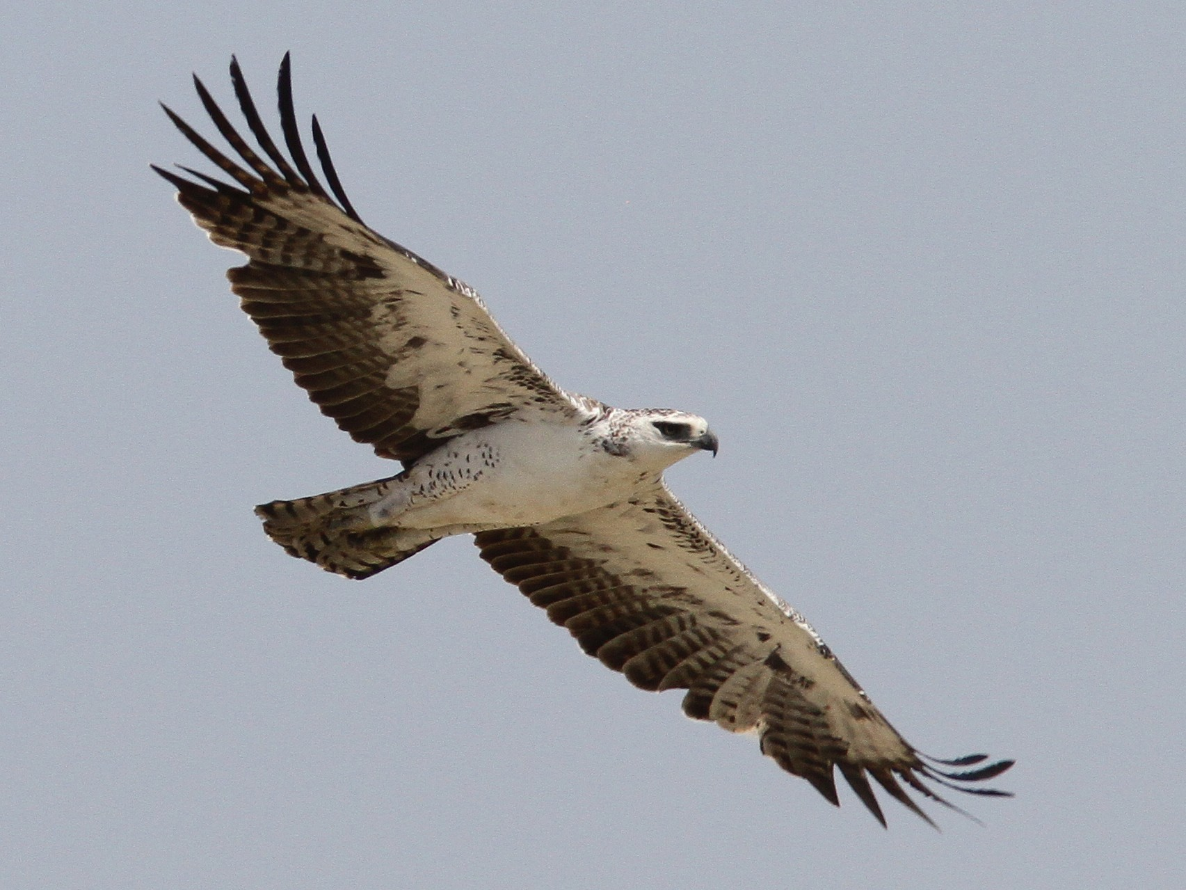 Martial Eagle - Daniel Jauvin