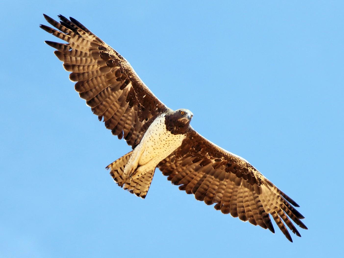 Martial Eagle - Megan Perkins