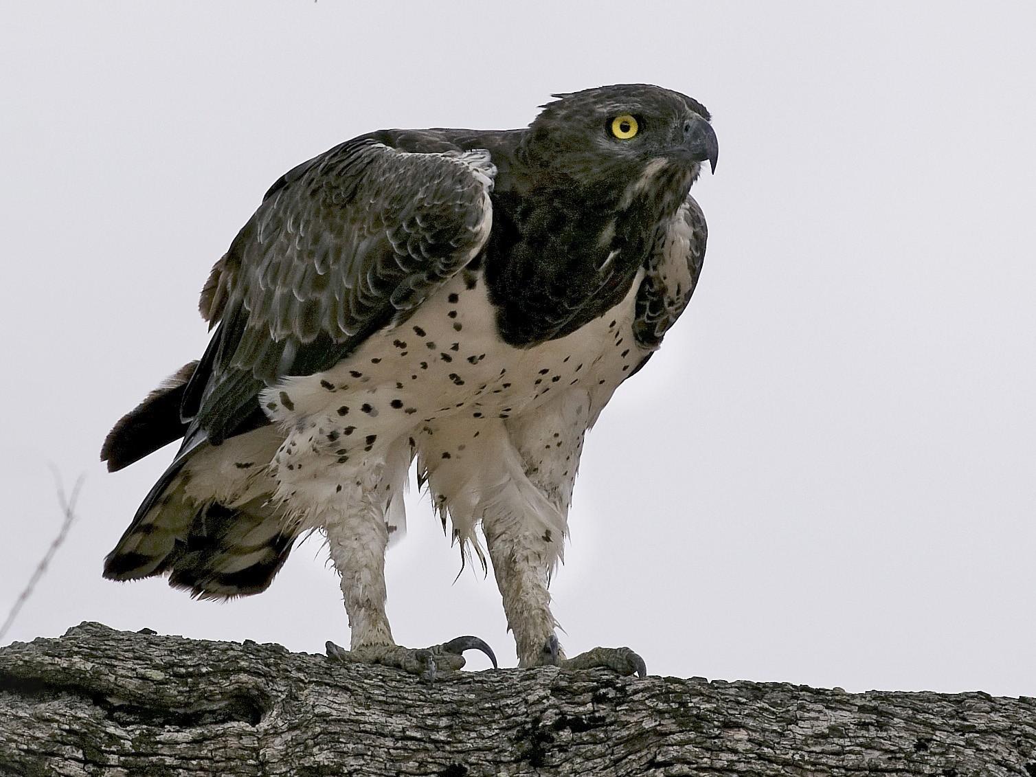 Martial Eagle - Roland Alder