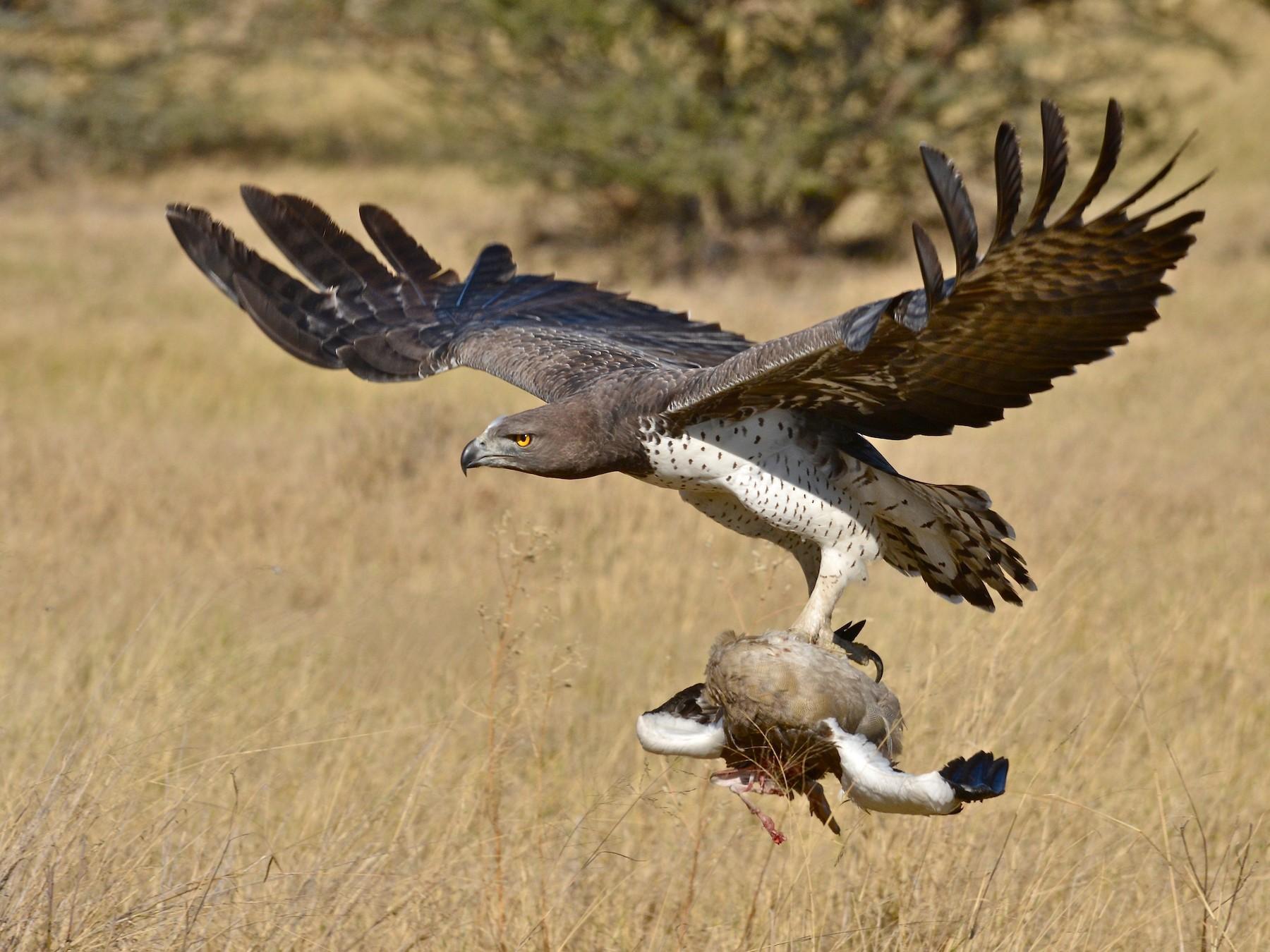 Martial Eagle - Donald Lipmanson