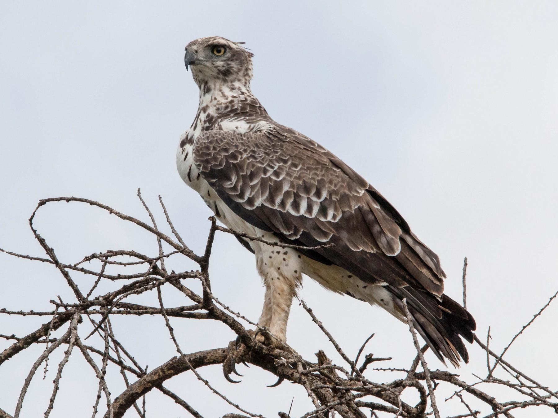 Martial Eagle - Kevin Vande Vusse