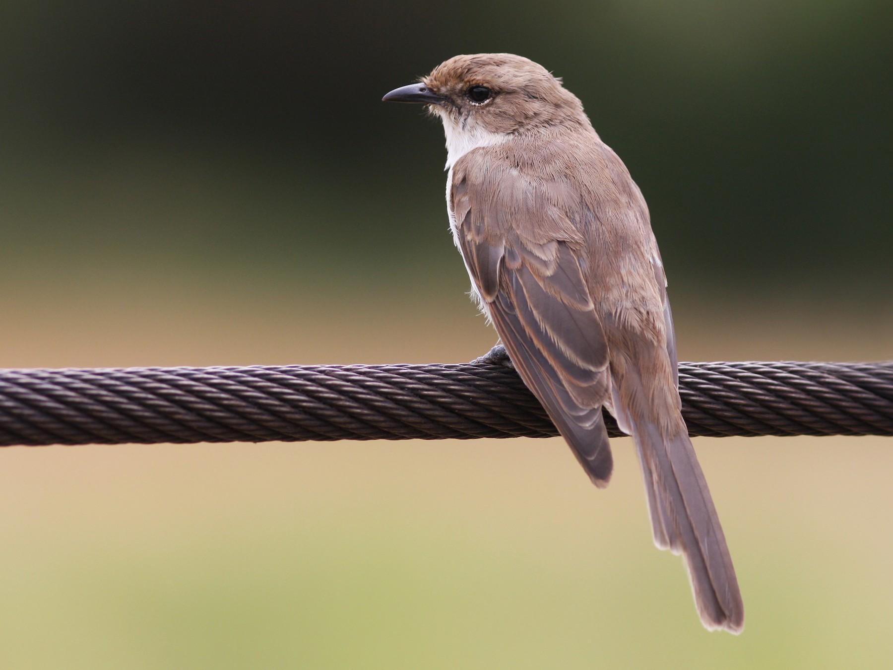Mariqua Flycatcher - Daniel Jauvin