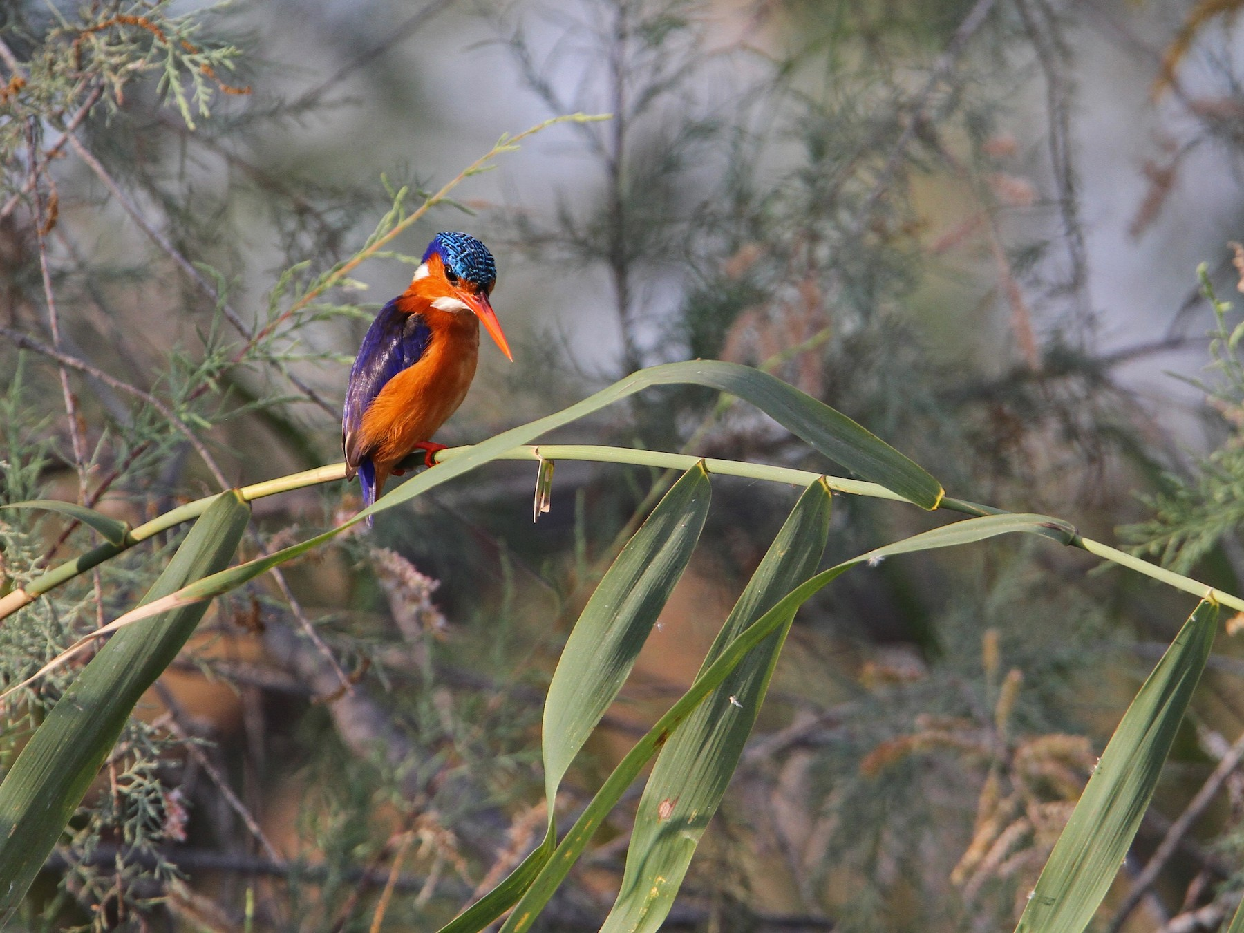 Malachite Kingfisher - Christoph Moning