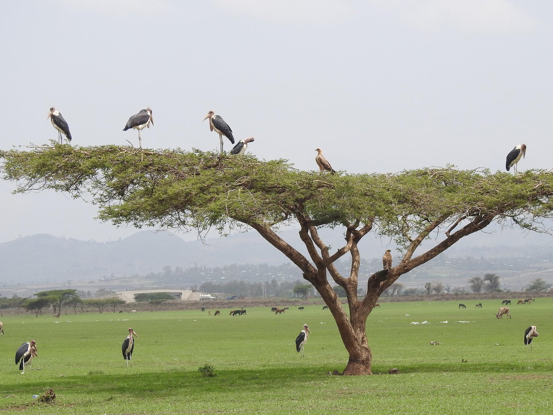 Marabou Stork - Joel Adams