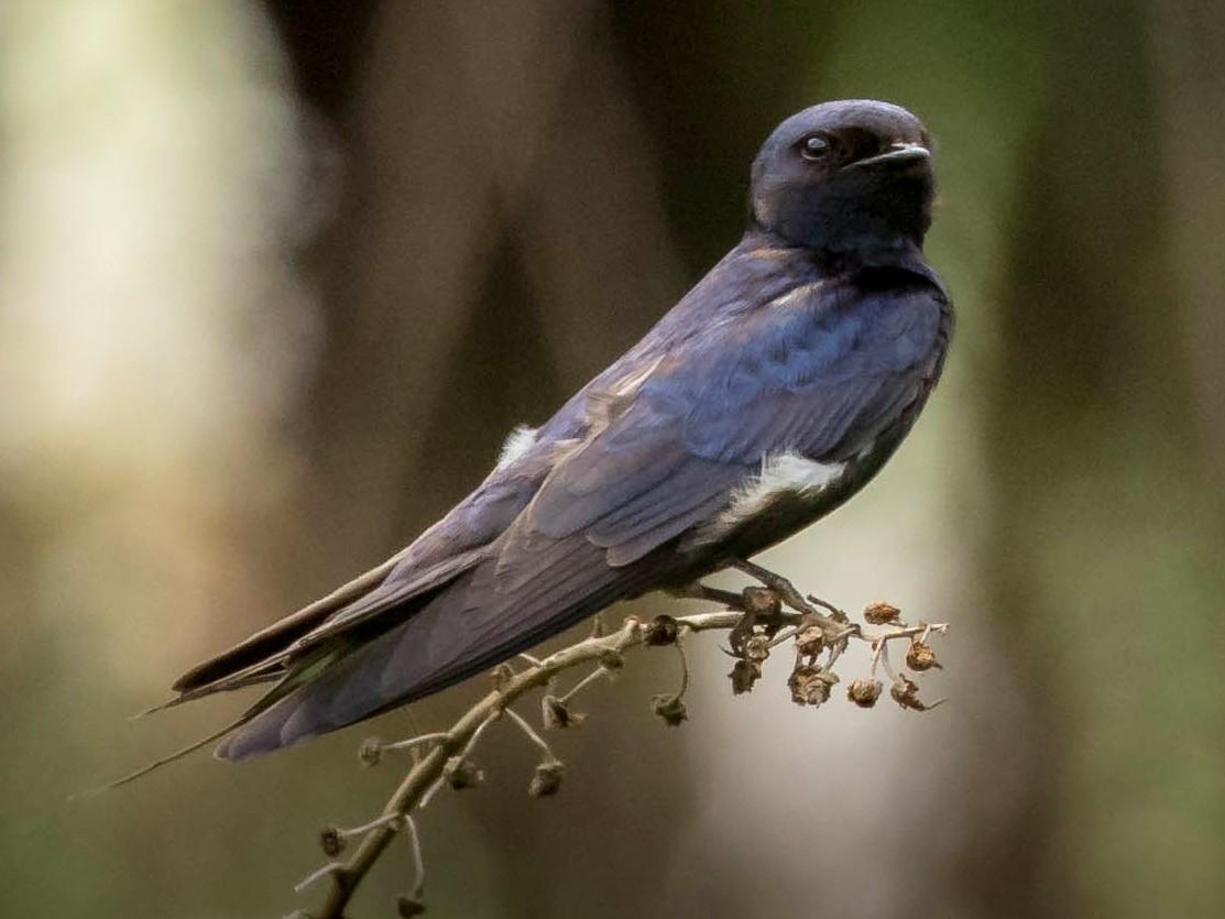 Montane Blue Swallow - Michael Riffel