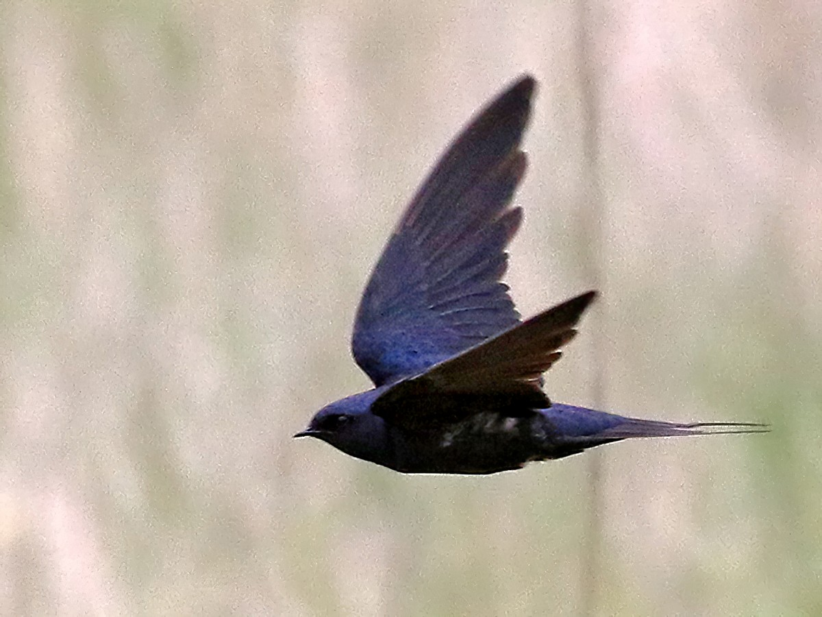 Montane Blue Swallow - Charley Hesse