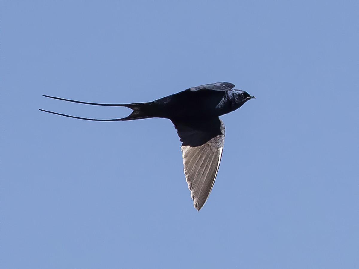 Montane Blue Swallow - Niall D Perrins