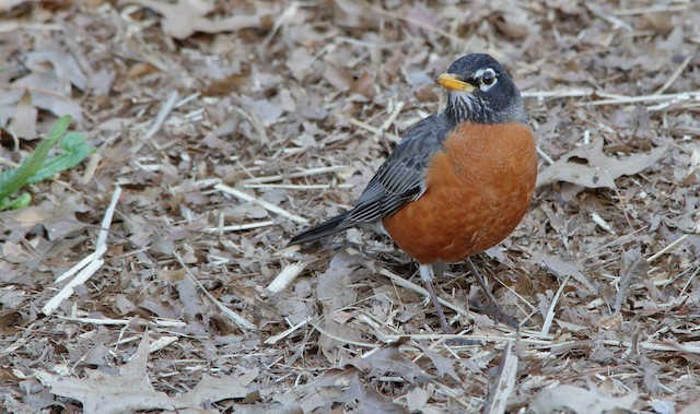 American Robin (migratorius Group)