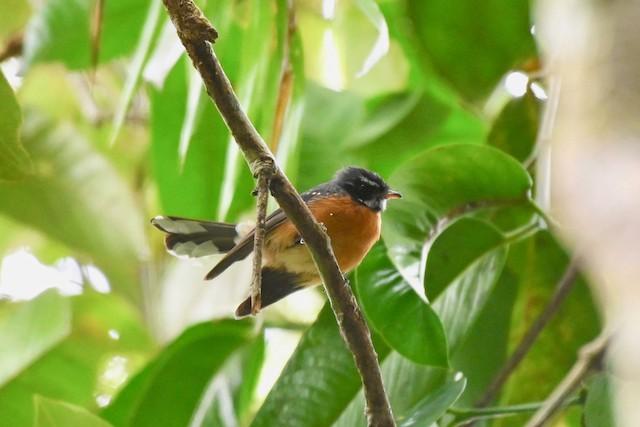 Chestnut-bellied Fantail