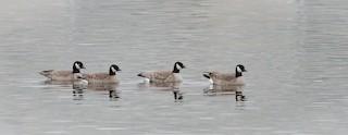 Cackling Goose (Richardson's)
