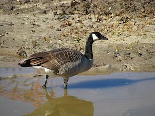 Canada Goose, ML21922871