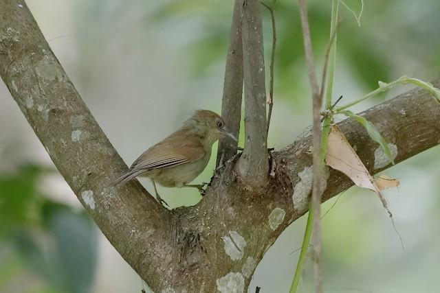 Gray-faced Tit-Babbler