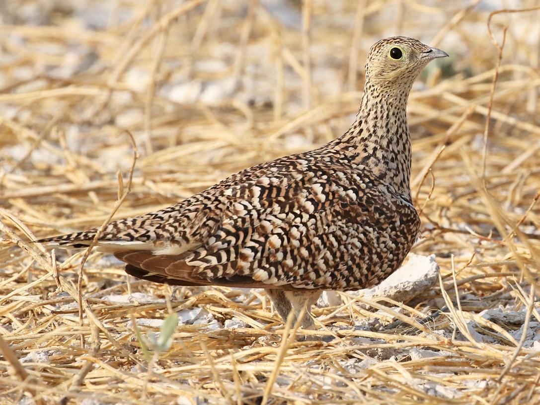 Namaqua Sandgrouse - Charley Hesse TROPICAL BIRDING