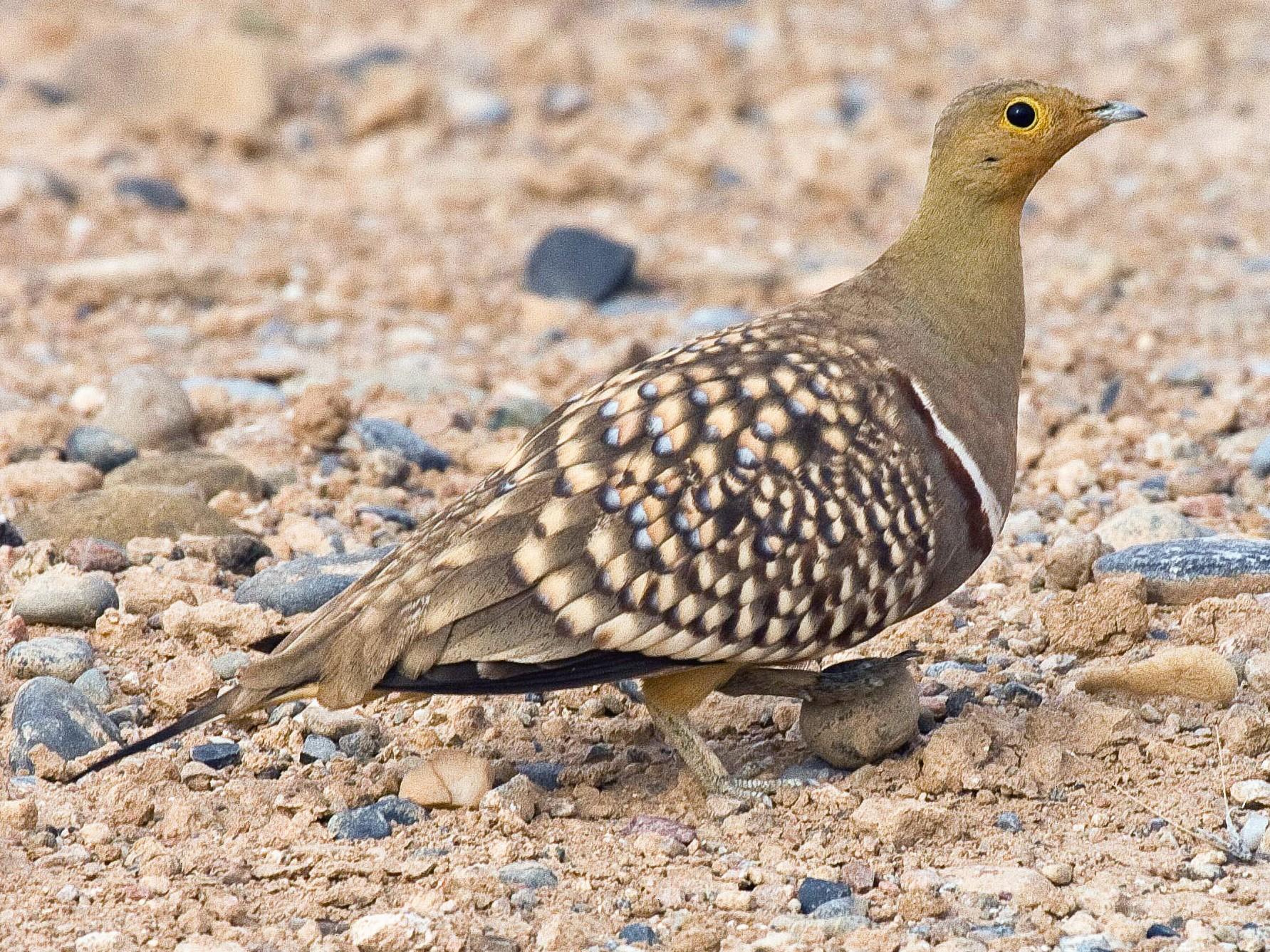Namaqua Sandgrouse - Eric VanderWerf
