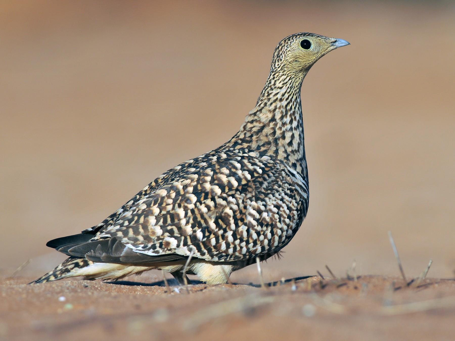 Namaqua Sandgrouse - Tom Heijnen