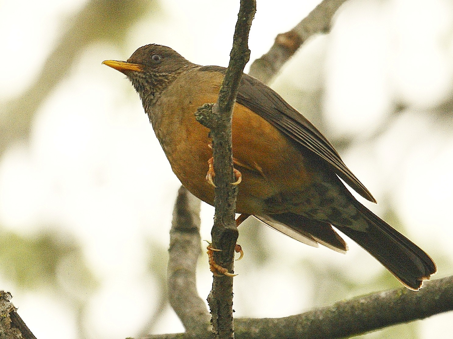 Olive Thrush - Loutjie Steenberg