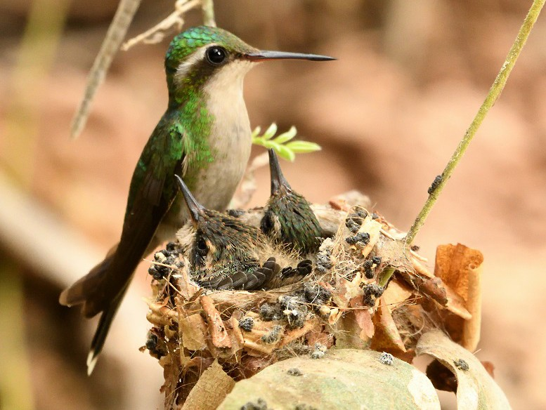 Golden-crowned Emerald - Antonio Robles