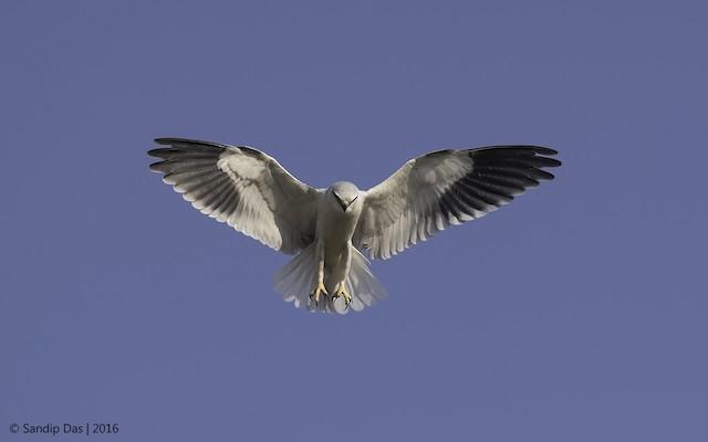 ©Sandip Das - Black-winged Kite
