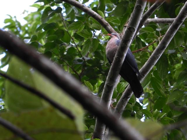 Seram Mountain-Pigeon