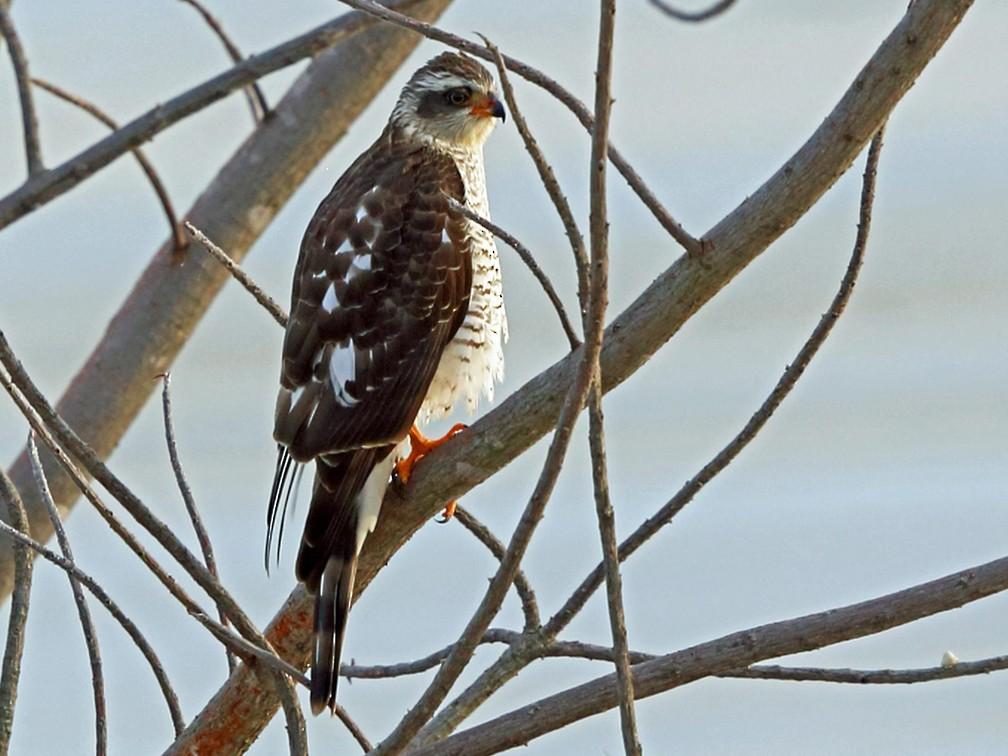 Ovambo Sparrowhawk - Nigel Voaden