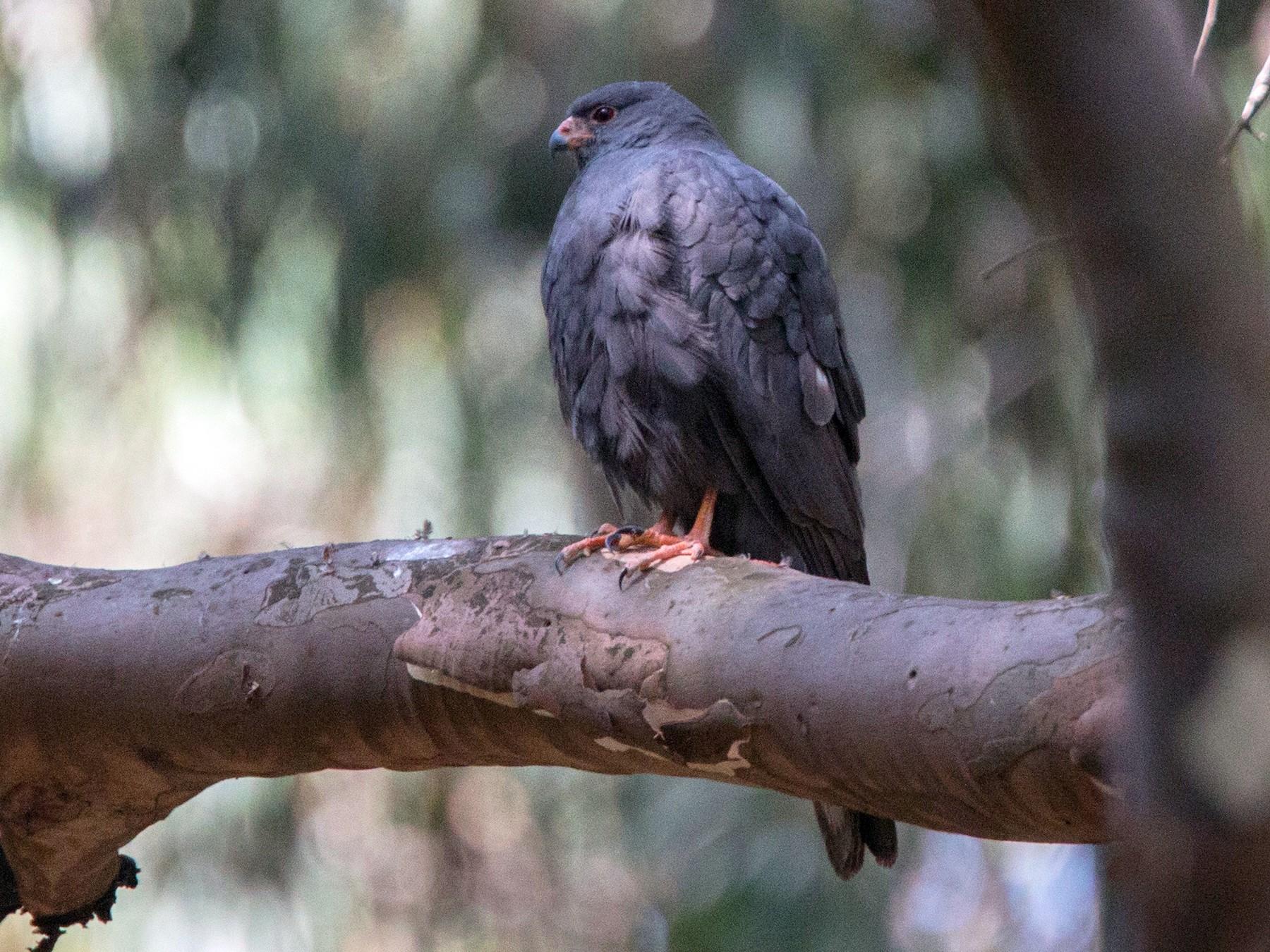 Ovambo Sparrowhawk - Ian Davies