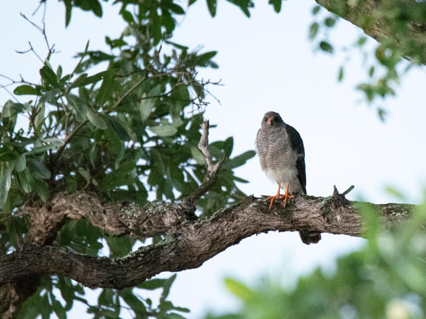 Ovambo Sparrowhawk - Alistair Routledge
