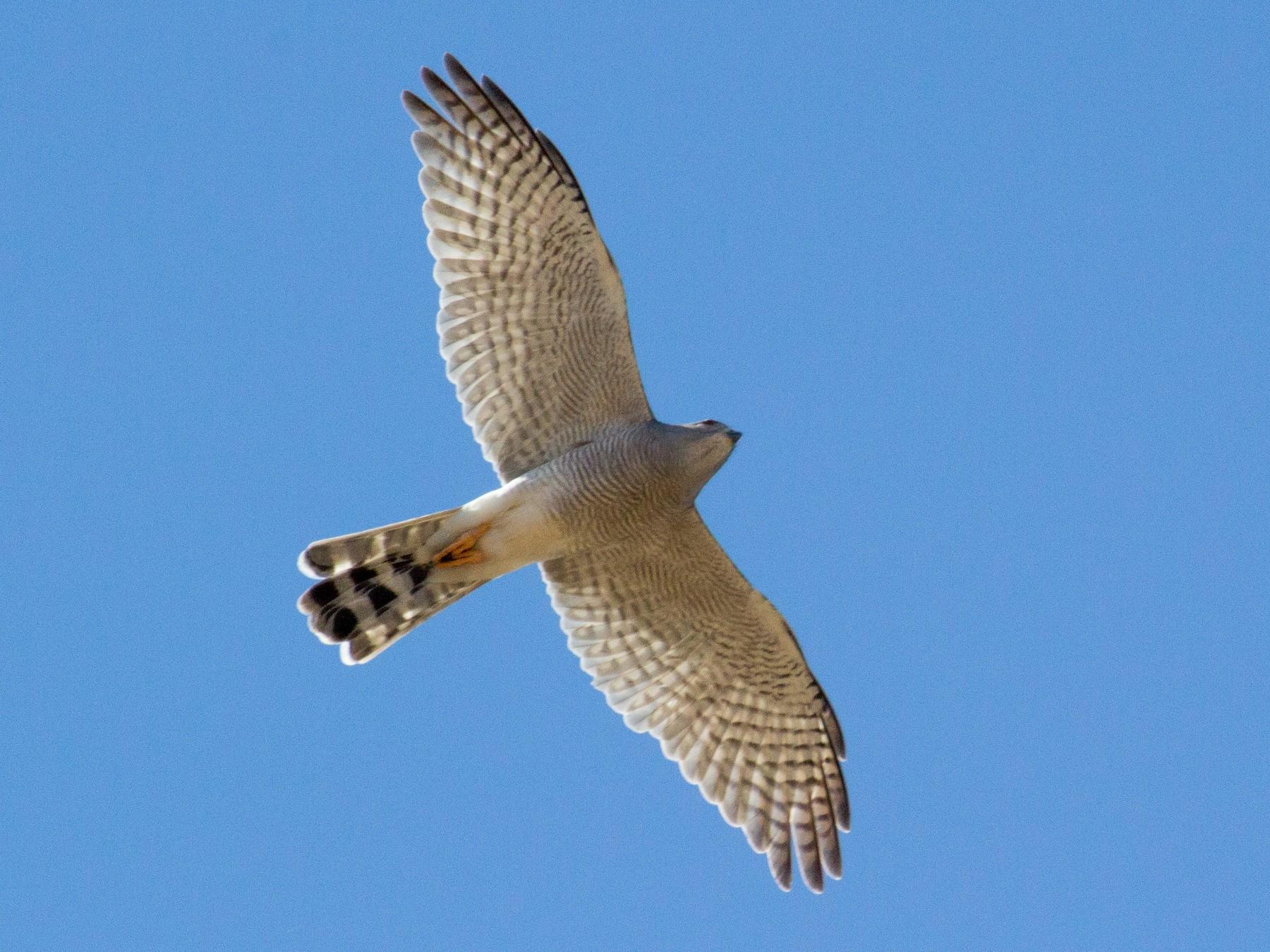 Ovambo Sparrowhawk - Angus Fitton