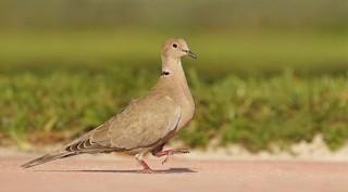 Eurasian Collared-Dove, ML21934901