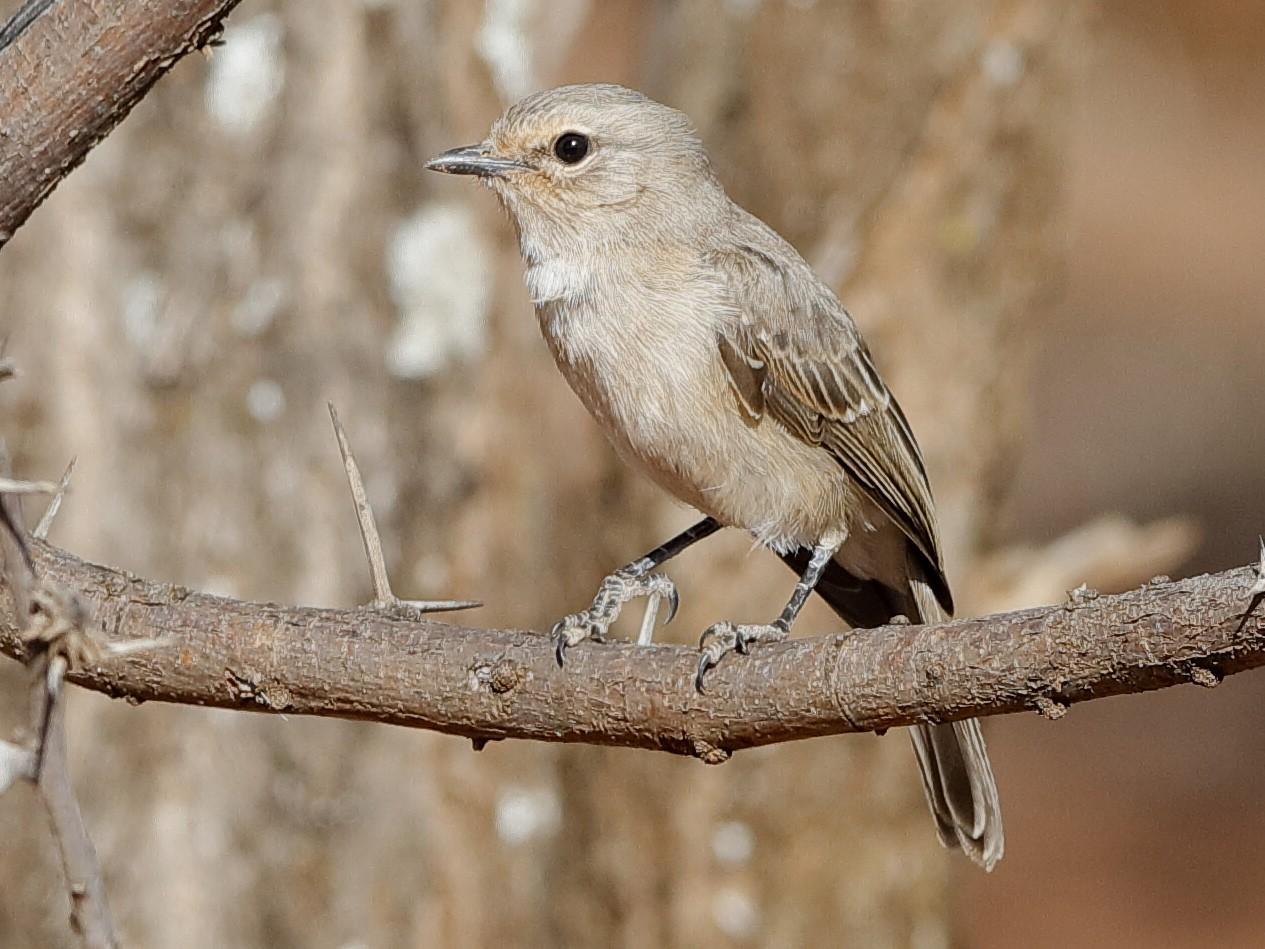 Pale Flycatcher - Holger Teichmann