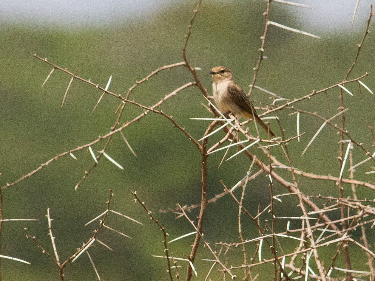 Pale Flycatcher - Chris Sayers
