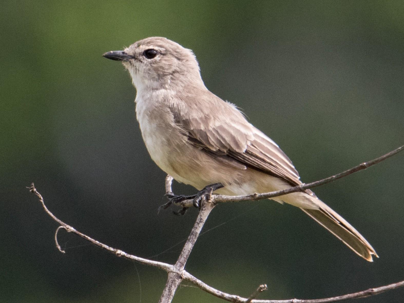 Pale Flycatcher - Peter  Steward