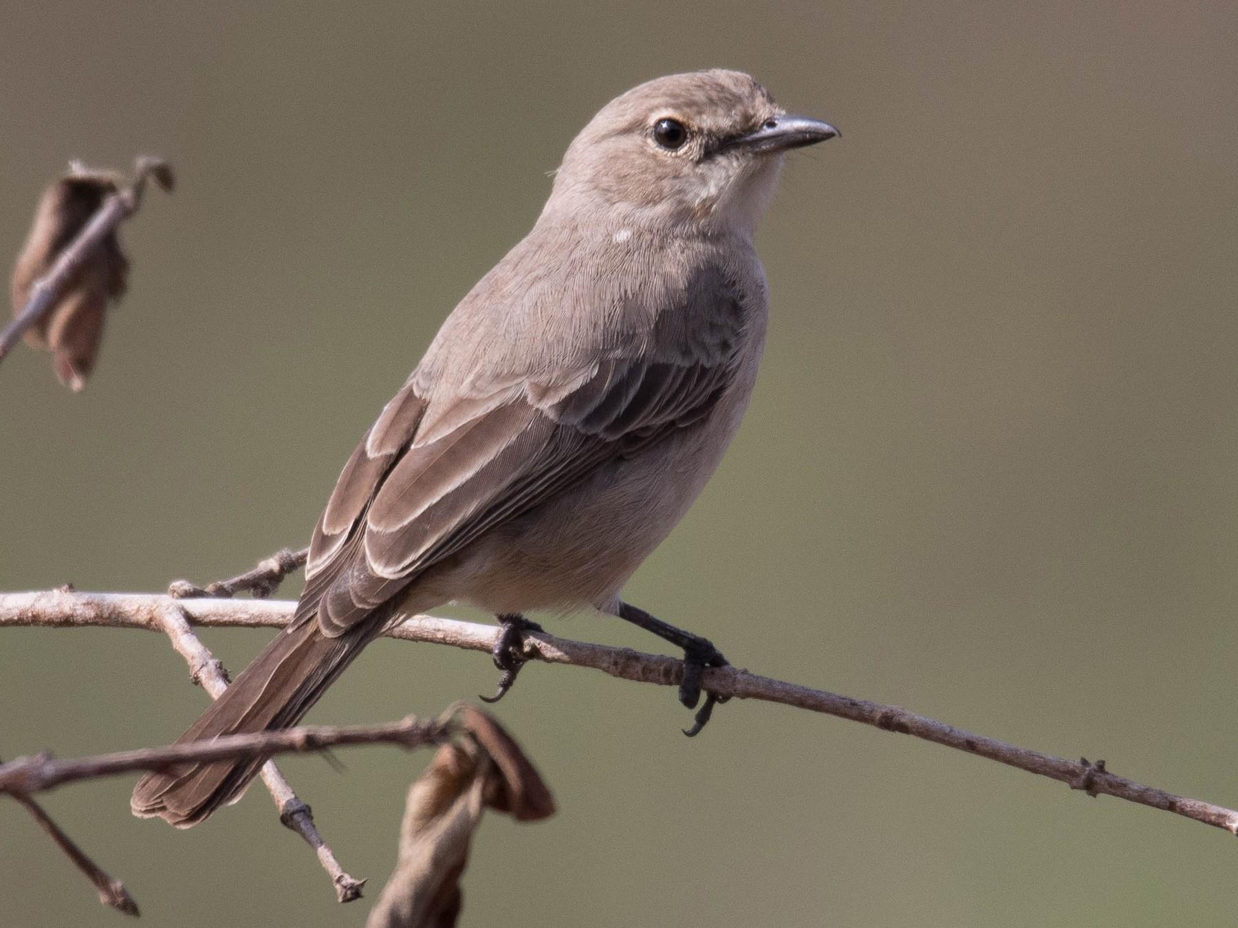 Pale Flycatcher - Raymond  Birkelund