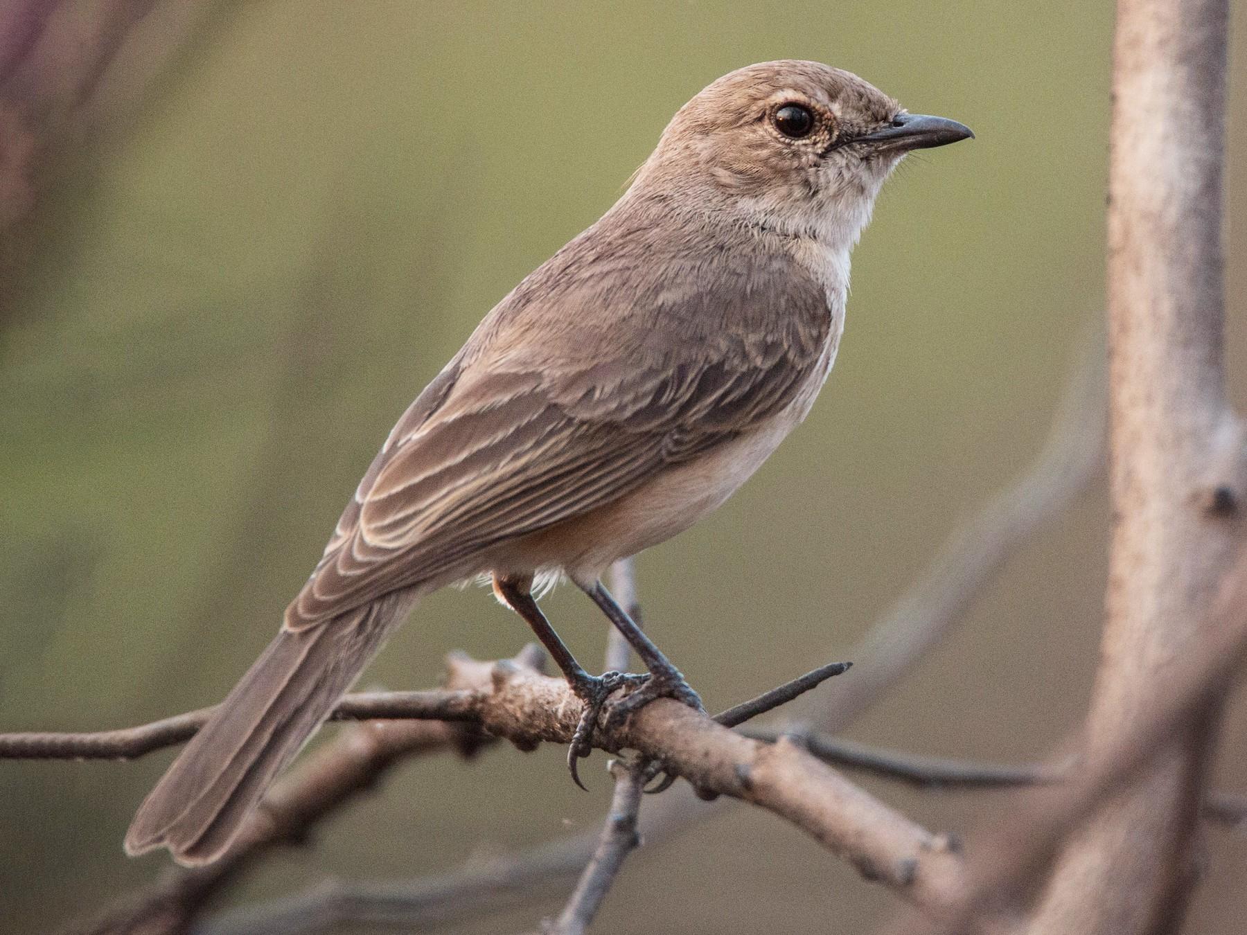 Pale Flycatcher - Ian Davies