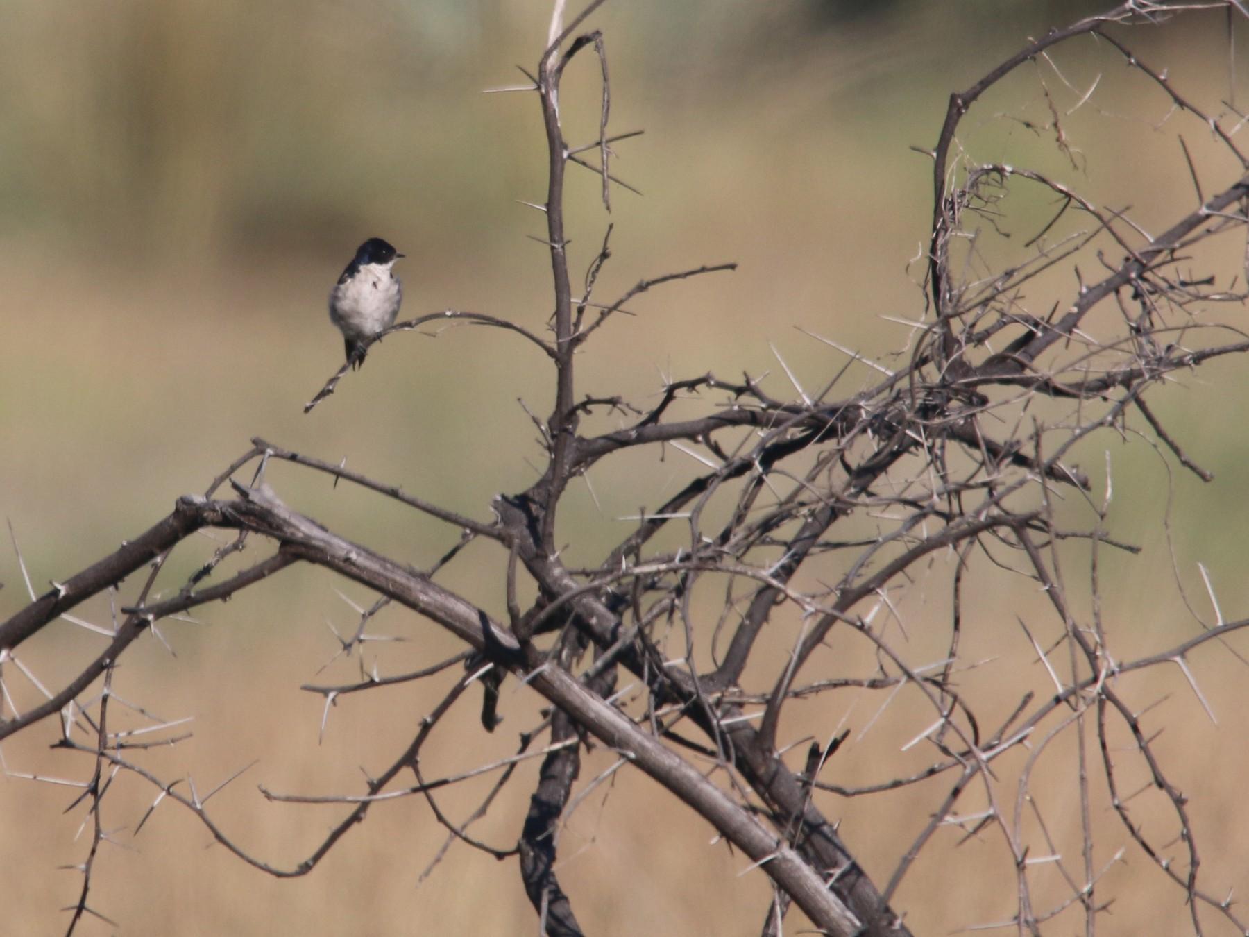 Pearl-breasted Swallow - Dan Fox