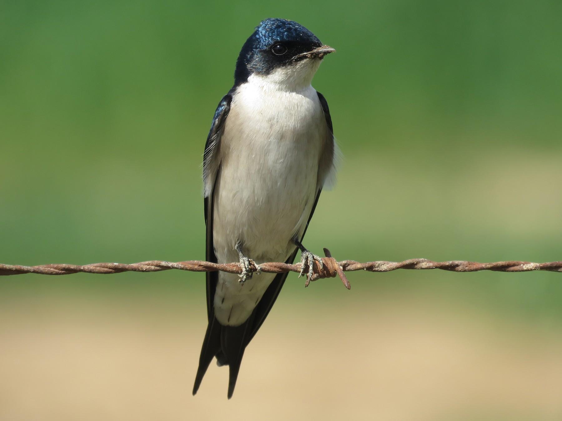 Pearl-breasted Swallow - Nicholas Fordyce