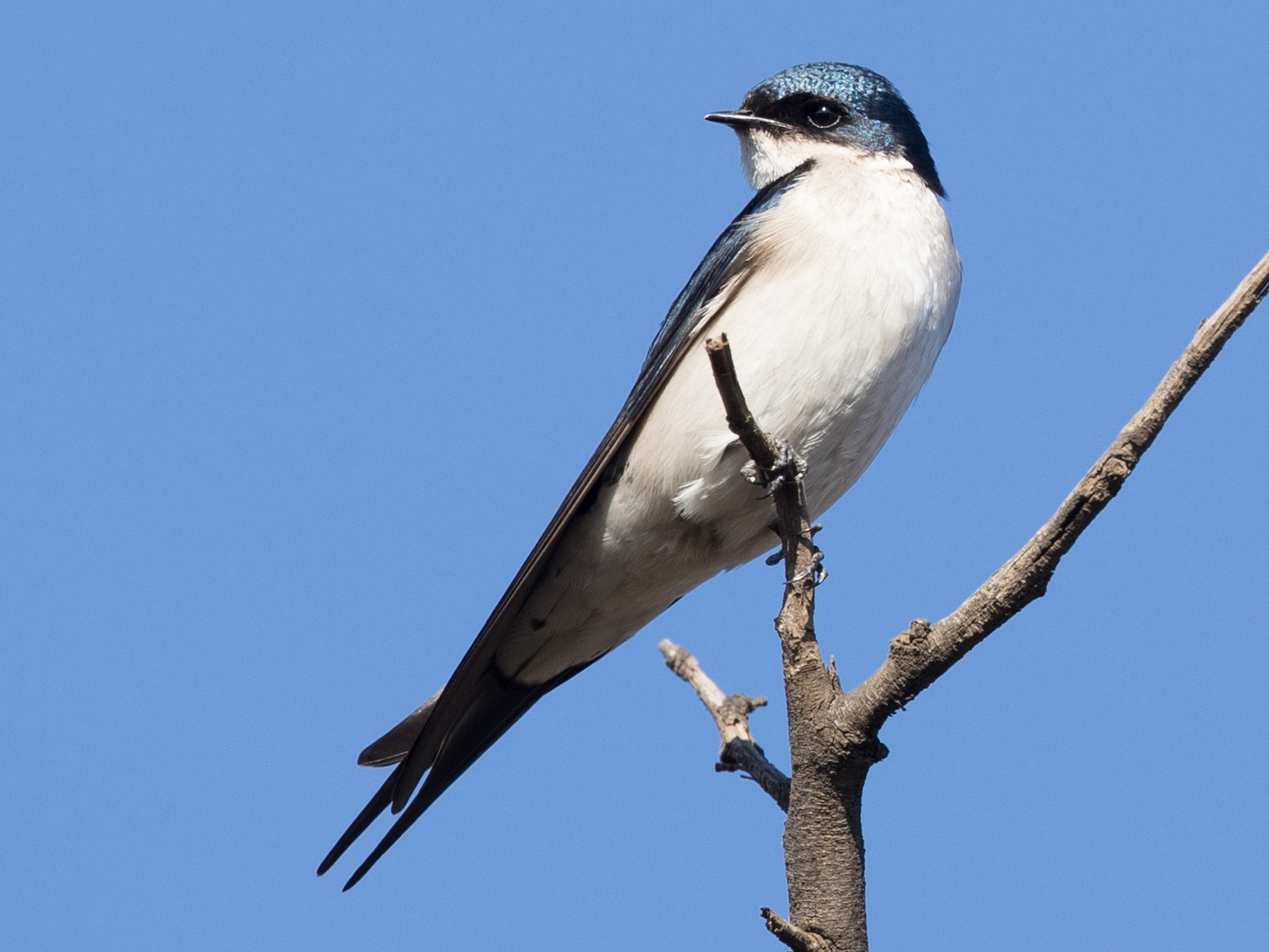 Pearl-breasted Swallow - David Irving