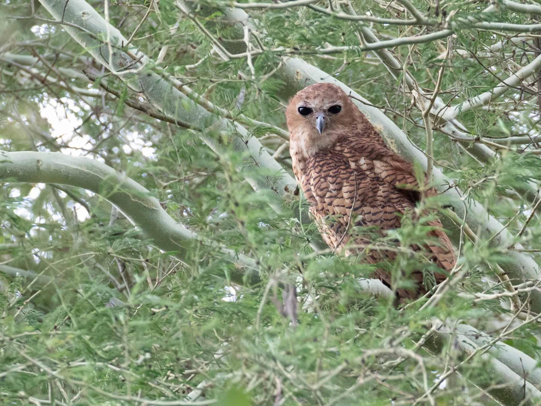 Pel's Fishing-Owl - Richard Webber