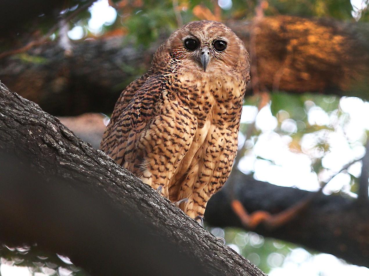 Pel's Fishing-Owl - Daryl Dell
