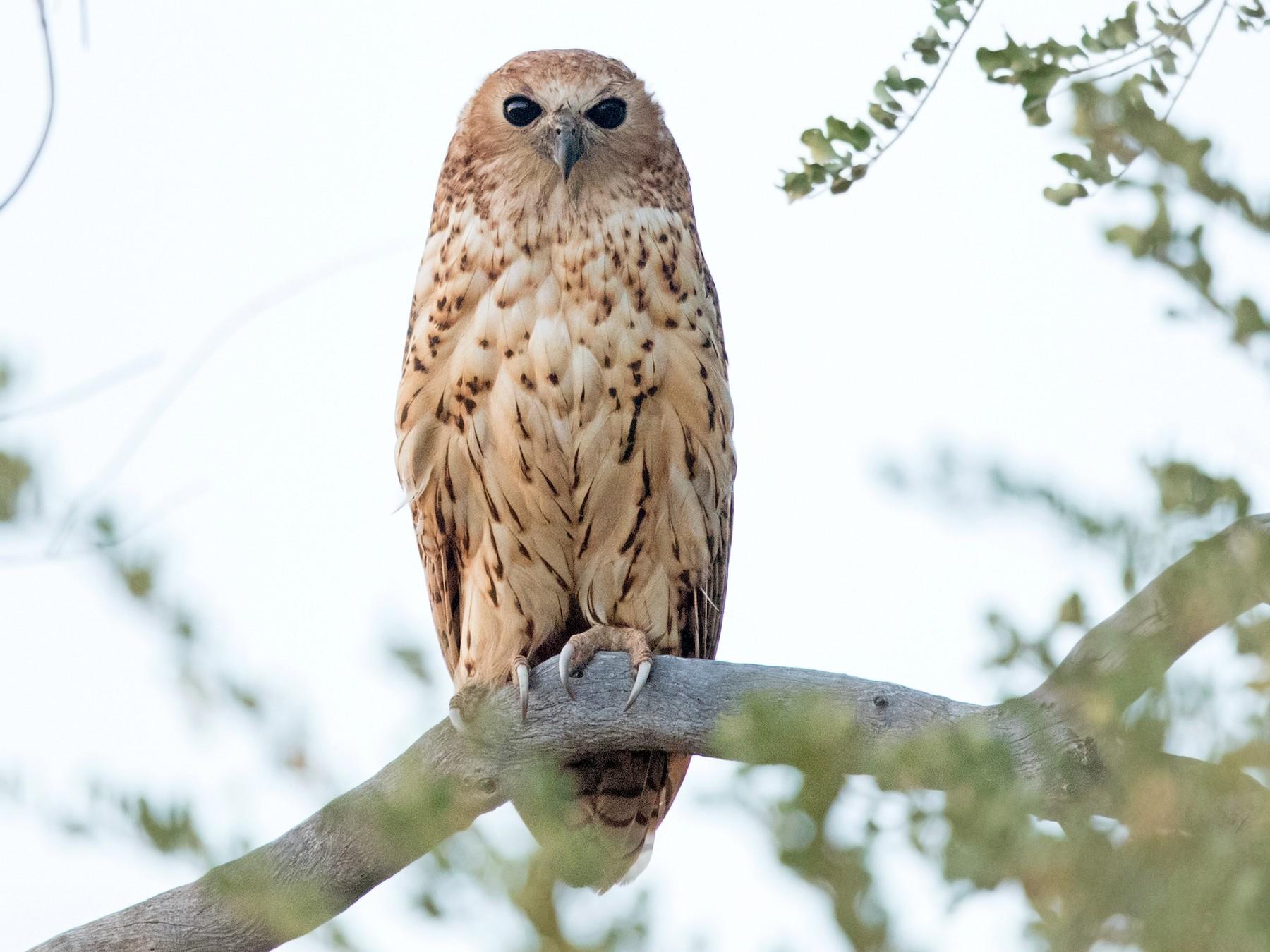 Pel's Fishing-Owl - David Irving