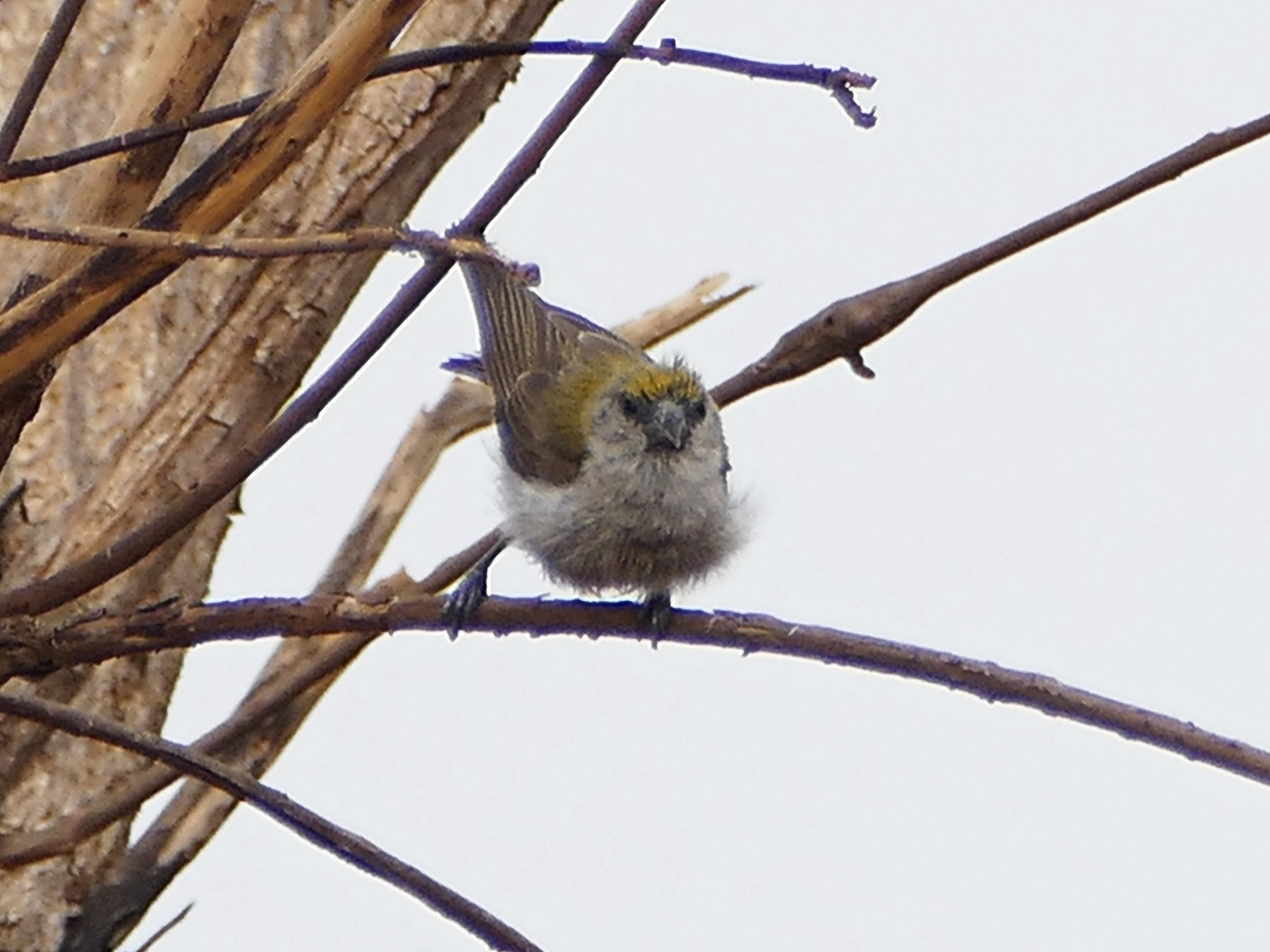 African Penduline-Tit - Peter Kaestner