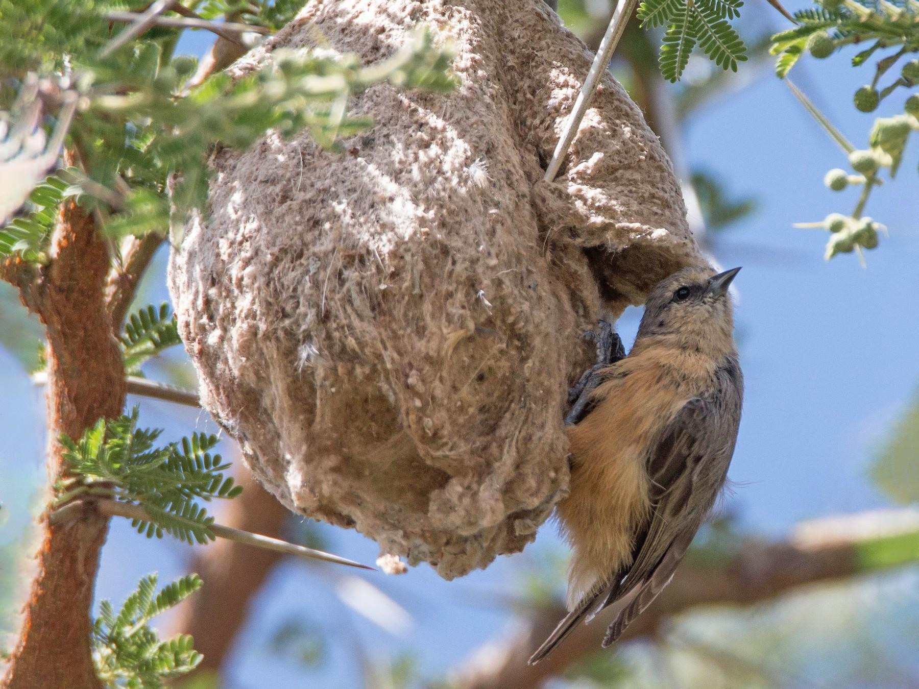 African Penduline-Tit - Stratton Hatfield