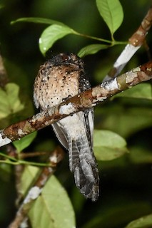 - Wallace's Owlet-nightjar