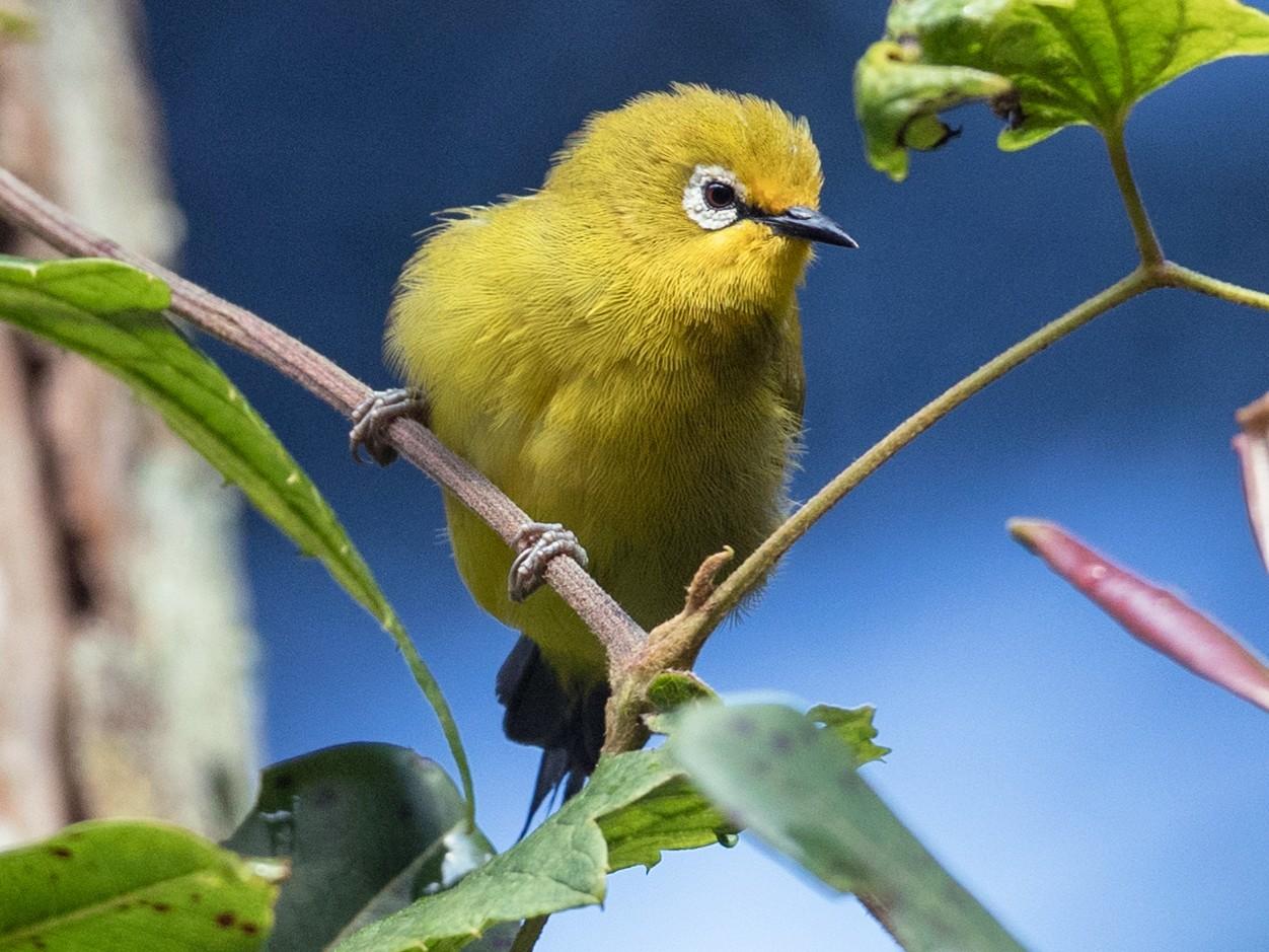 African Yellow White-eye - Ian Davies