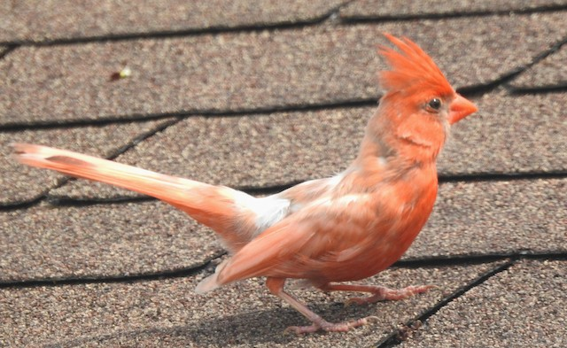 Possible non-eumelanic male Northern Cardinal.